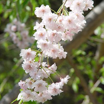 Miho_flower_1