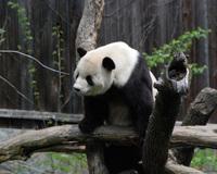 Panda2_1